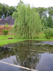 Weeping Willow Reflection. (dccradio) Tags: lumberton nc northcarolina robesoncounty outdoor outdoors outside nature natural canon powershot elph 520hs rain rainy june summer summertime thursday evening goodevening thursdayevening grass lawn greenery ground yard sky overcast cloudy reflection water puddle parking parkinglot whitelines paved pavement roof building architecture tree trees weepingwillow branch branches treebranch treebranches