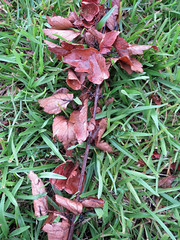 Fallen Leaves On The Lawn. (dccradio) Tags: lumberton nc northcarolina robesoncounty outdoor outdoors outside nature natural canon powershot elph 520hs rain rainy june summer summertime thursday evening goodevening thursdayevening grass lawn greenery ground yard fallen fallenleaves grounded leaf leaves raindrops droplets waterdrops waterdroplets brownleaves