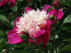 Peony WG IMG_3998 (Jennz World) Tags: ©jennifermlivick whistlinggardens wilsonville ontario canada peony peonies flower flowers