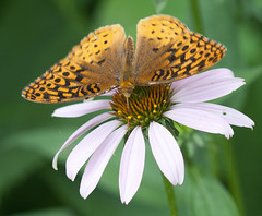Butterfly on coneflower (Shotaku) Tags: garden flowers flower macro closeup butterflies butterfly fritillary plants plant insects insect explore