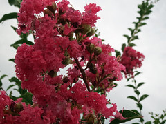 Pink Crepe Myrtle Blossoms. (dccradio) Tags: lumberton nc northcarolina robesoncounty outdoor outdoors outside rain rainy raindrops drenched soaked water waterdroplets raindroplets flower floral flowers june summer summertime thursday evening thursdayevening goodevening crapemyrtle crepemyrtle flowering floweringtree bloom blooms blooming blossom blossoming blossoms pretty beauty nature natural canon powershot elph 520hs pink pinkflowers