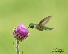 (dcstep) Tags: cherrycreekstatepark colorado sonya7riii fe100400mmf4556gmoss allrightsreserved copyright2019davidcstephens mammal handheld dxophotolab na naturesanctuary urbannature urbanwildlife dsc8630dxo thistle hummingbird broadtailhummingbird fight bif feeding birdinflight hover