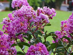 Crepe Myrtle Blossoms. (dccradio) Tags: lumberton nc northcarolina robesoncounty outdoor outdoors outside rain rainy raindrops drenched soaked water waterdroplets raindroplets flower floral flowers june summer summertime thursday evening thursdayevening goodevening crapemyrtle crepemyrtle flowering floweringtree bloom blooms blooming blossom blossoming blossoms pretty beauty nature natural canon powershot elph 520hs purple purpleflowers lavender