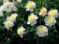 Peony WG IMG_3997 (Jennz World) Tags: ©jennifermlivick whistlinggardens wilsonville ontario canada peony peonies flower flowers