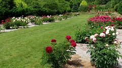 Peony WG IMG_3996 (Jennz World) Tags: ©jennifermlivick whistlinggardens wilsonville ontario canada peony peonies flower flowers