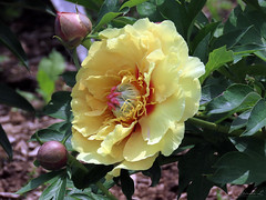 Peony WG IMG_3973 (Jennz World) Tags: ©jennifermlivick whistlinggardens wilsonville ontario canada peony peonies flower flowers