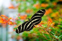 Zebra Longwing Feeding on Flowers (John Brighenti) Tags: phipps conservatory pittsburgh pennsylvania westernpennsylvania pa garden flowers plants botanical nature green life travel oakland schenleypark indoors orange red yellow butterfly insect wings feeding stripes antennae bokeh depthoffield outoffocus sony alpha a7rii ilce7rm2 tamron2875 tamron lens zoom nex emount femount ilce sonyshooter bealpha