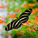 Zebra Longwing Feeding on Flowers