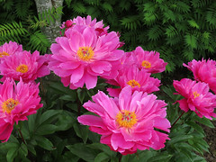 Peony WG IMG_3963 (Jennz World) Tags: ©jennifermlivick whistlinggardens wilsonville ontario canada peony peonies flower flowers