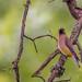 Cedar Waxwing ~ Bombycilla cedrorum ~ Huron River and Watershed