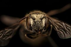 Ashmeadiella bucconis, f, face, Yolo, CA_2018-11-16-19.12.21 ZS PMax UDR (Sam Droege) Tags: zerenestacker stackshot geologicalsurvey unitedstatesgeologicalsurvey departmentoftheinterior droege biml beeinventoryandmonitoringlaboratory bug bugs canon closeup macro insect patuxentwildliferesearchcenter pwrc usgs dofstacking stacking entomologist canonmpe65 taxonomy:binomial=ashmeadiellabucconis animals animal bee bees apoidea hymenoptera pollinator nativebee entomology macrophotography usinterior california clairekremen central valley