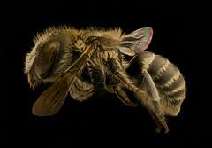 Ashmeadiella bucconis, f, left, Yolo, CA_2018-11-16-19.08.24 ZS PMax UDR (Sam Droege) Tags: zerenestacker stackshot geologicalsurvey unitedstatesgeologicalsurvey departmentoftheinterior droege biml beeinventoryandmonitoringlaboratory bug bugs canon closeup macro insect patuxentwildliferesearchcenter pwrc usgs dofstacking stacking entomologist canonmpe65 taxonomy:binomial=ashmeadiellabucconis animals animal bee bees apoidea hymenoptera pollinator nativebee entomology macrophotography usinterior california clairekremen central valley