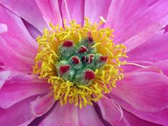 Peony WG IMG_3962 (Jennz World) Tags: ©jennifermlivick whistlinggardens wilsonville ontario canada peony peonies flower flowers