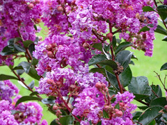 Purple Blossoms. (dccradio) Tags: lumberton nc northcarolina robesoncounty outdoor outdoors outside rain rainy raindrops drenched soaked water waterdroplets raindroplets flower floral flowers june summer summertime thursday evening thursdayevening goodevening crapemyrtle crepemyrtle flowering floweringtree bloom blooms blooming blossom blossoming blossoms pretty beauty nature natural canon powershot elph 520hs purple purpleflowers lavender