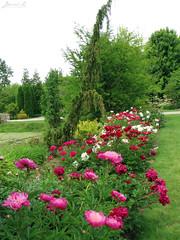 Peony WG IMG_3961 (Jennz World) Tags: ©jennifermlivick whistlinggardens wilsonville ontario canada peony peonies flower flowers