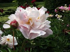 Peony WG IMG_3960 (Jennz World) Tags: ©jennifermlivick whistlinggardens wilsonville ontario canada peony peonies flower flowers