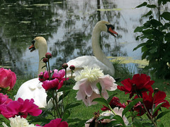 Peony WG IMG_3956 (Jennz World) Tags: ©jennifermlivick whistlinggardens wilsonville ontario canada peony peonies flower flowers