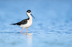 Black-necked Stilt (nikunj.m.patel) Tags: nature wild wildlife birds stilt blackneckedstilt water nikon naturephotography wildlifephotography