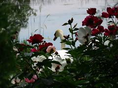 Peony WG IMG_3939 (Jennz World) Tags: ©jennifermlivick whistlinggardens wilsonville ontario canada peony peonies flower flowers