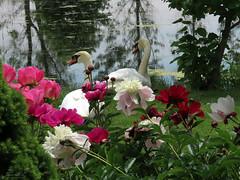 Peony WG IMG_3952 (Jennz World) Tags: ©jennifermlivick whistlinggardens wilsonville ontario canada peony peonies flower flowers