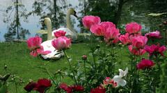 Peony WG IMG_3949 (Jennz World) Tags: ©jennifermlivick whistlinggardens wilsonville ontario canada peony peonies flower flowers