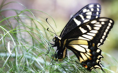 Somebody said, this is where I'll be (TJ Gehling) Tags: insect lepidoptera butterfly papilionidae swallowtail swallowtailbutterfly aniseswallowtail papilio papiliozelicaon plant apiales apiaceae fennel foeniculum middlecreek albanyhill albanyca ovipositing talkingheads