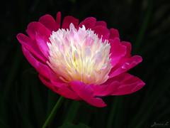 Peony WG IMG_3943 (Jennz World) Tags: ©jennifermlivick whistlinggardens wilsonville ontario canada peony peonies flower flowers