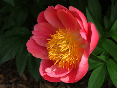 Peony WG IMG_3924 (Jennz World) Tags: ©jennifermlivick whistlinggardens wilsonville ontario canada peony peonies flower flowers