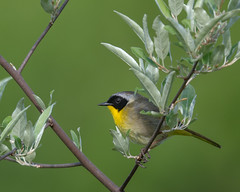 Yellow On Green (rob.wallace) Tags: spring 2019 common yellowthroat male warbler perched purcellville va