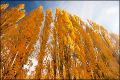 Poplar season (katepedley) Tags: diamondclassphotographer flickrdiamond autumn poplar southisland newzealand new zealand south island trees fall gold golden yellow polariser canon 5d 1740mm roxburgh otago otagonz nz