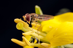 """""""Oh dear, I think I left the windows open"""""""" (Brian M Hale) Tags: macro closeup close up outside outdoors nature tower hill botanic botanical garden boylston ma mass massachusetts rain drops raindrops rainy brian hale brianhalephoto new england newengland usa hover fly hoverfly insect"""