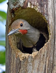 .....a-boo!!  (Pic 2 of 2) (Snixy_85) Tags: colaptesauratus northernflicker flicker