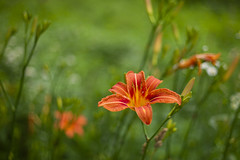 Wild Ones (David Guidas) Tags: tiger lily summer wildflowers orange leica m9 summicron bokeh nature weeds rural roadside