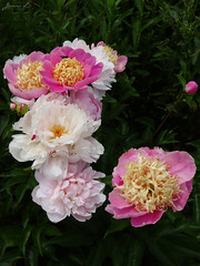 Peony WG IMG_3936 (Jennz World) Tags: ©jennifermlivick whistlinggardens wilsonville ontario canada peony peonies flower flowers