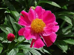 Peony WG IMG_3923 (Jennz World) Tags: ©jennifermlivick whistlinggardens wilsonville ontario canada peony peonies flower flowers