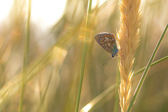 Golden summer day (- A N D R E W -) Tags: common blue female butterfly mariposa summer verano rest leaf hoja light luz sun sol azul macro tamron 90mm f28