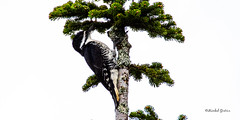 Pic à dos noir - Black-backed Woodpecker - Picoides arcticus (MichelGuérin) Tags: 14juin2019 2019 animal blackbackedwoodpecker coc canada chemindelobservatoire clubdesornithologuesdechâteauguay june lapatrie lightroomcc michelguerin michelguérin nature nikkor200500mmf56eedvr nikon nikond500 observatoirepopulairedumontmégantic observatoiredumontmégantic oiseaux parcnationaldumontmégantic perisoreuscanadensis picàdosnoir picoidesarcticus qc québec animaux juin