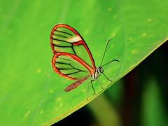 Greta morgane (Rolf Piepenbring) Tags: gretamorgane butterfly schmetterling vlinder