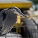 Vancouver heron