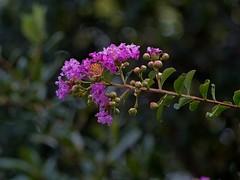 P6201543 -2Z135S (hyphy2008) Tags: zeiss sonnar 135mm f40 rangefinderlens flowertreegardencrepe myrtle