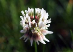 Glover (Rick & Bart) Tags: tuin macro nature canon garden glover herb flowerflora rickbart rickvink eos70d