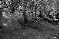 WoodlandGate (Tony Tooth) Tags: nikon d7100 sigma 1750mm gate wall path pathway footpath woodland woods bw blackandwhite monochrome danebridge staffs staffordshire england countryside