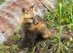 Red Fox Pup (valentina425) Tags: fox pup kit animal wild