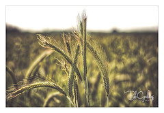 Let's just kiss and say goodbye (Bob Geilings) Tags: grain closeup flora green field acre grainfield season mood