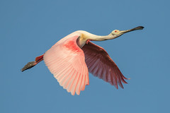 Roseate Spoonbill Inflight (dbadair) Tags: bird ft desoto st pete fl outdoor seaside sky water nature wildlife 7dm2 7d ii ef100400mm canon florida