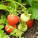 Wild Strawberries (Explored)