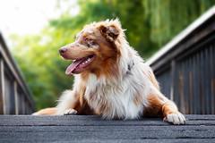 Happy III (patrick_illhardt) Tags: aussie dog dogportrait tierfotografie tiere haustiere hund portrait liegend laying pet petphotography