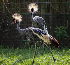 Two By The Fence (Wes Iversen) Tags: balearicapavoninapavonina florida staugustine staugustinealligatorfarm tamron150600mm westafricancrownedcrane birds cranes grass wildlife zoos