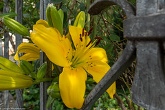 HFF - Fenced Friday  Zaungast (J.Weyerhäuser) Tags: fencedfriday hff zaun blume gelb streben