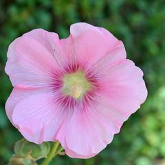Fête Des Fleurs [Cayeux-Sur-Mer - 15 August 2016] (Doc. Ing.) Tags: 2016 france picardie nordpasdecalaispicardie côtepicarde cayeuxsurmer square nikond5100 pink flower pinkflower